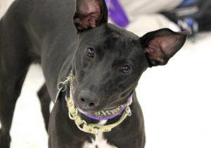 Trisha sighthound mix0001