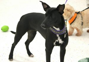 Trisha sighthound mix0002